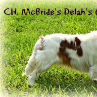 CH sired Cavalier King Charles Spaniel Puppies
