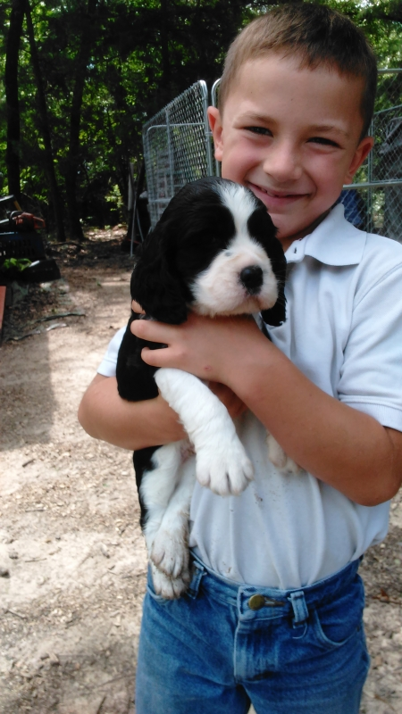 Absolutely Adorable English Springer Spaniel puppies