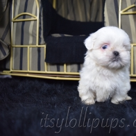 RARE Blue Eyed Whites and Reds Chinese Imperial Shih Tzus