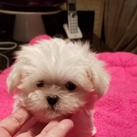 Chance to own cutest Tea Cup Maletese puppy ever