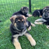 GSD Puppies -- Black & Tan and Black & Cream