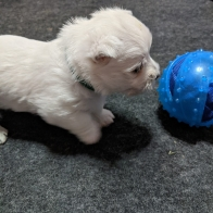 Adorable Male West Highland Terrier For Sale-Finnegan
