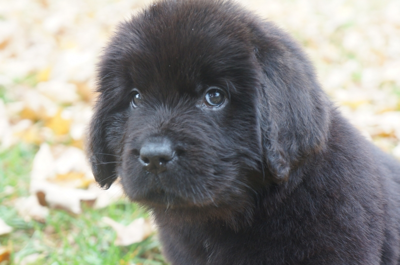 Newfie Puppies Males And Females Americas Pet Registry