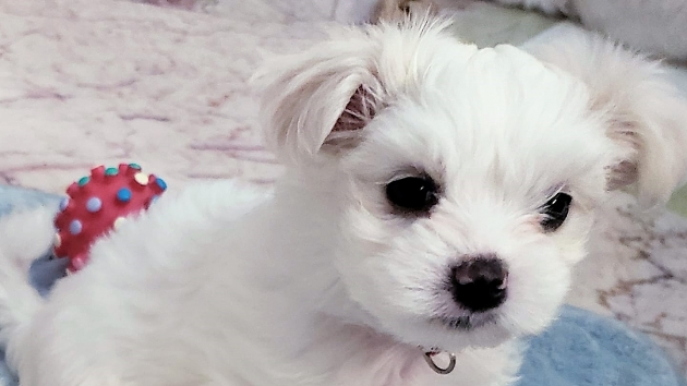Maltese Puppies For Sell Americas Pet Registry