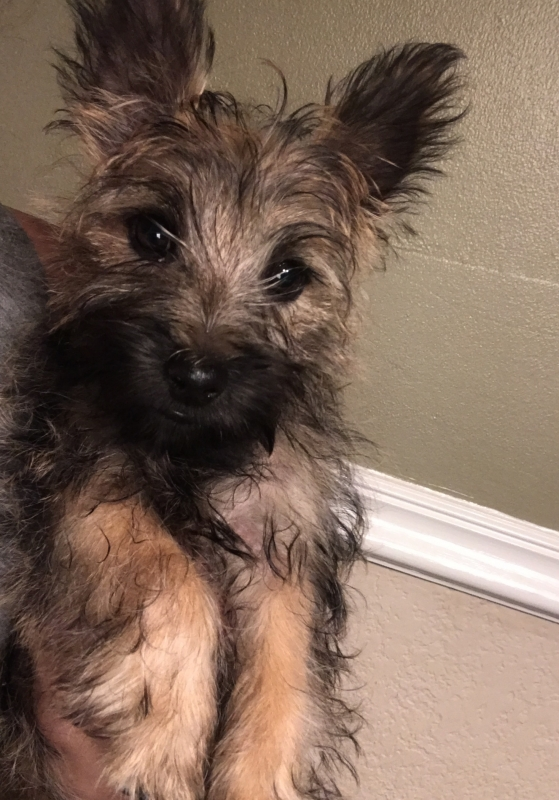 Cairn Terrier Puppies For Sale!!! - America's Pet Registry