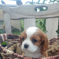 Adorable Cavalier Puppies Available