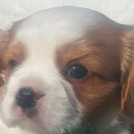 CRYSTALCLAW CAVALIER PUPPIES  Last litter of 2018 going fast