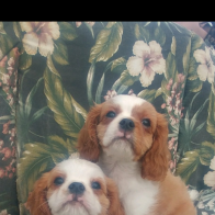 Cavalier Puppies ready for their families!