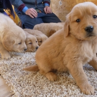 Golden Retriever Puppies in Sumner, IL
