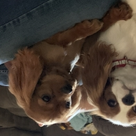 Ask Me About My Cavalier Babies
