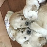 Champion's  Golden Retriever puppies - light cream