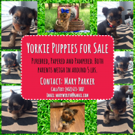 Purebred, Papered and Pampered Yorkies
