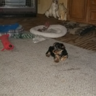 Baby Yorkshire Terrier for sale.