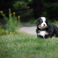 PUPPYTIME!  Bernese Mountain Puppies (Berners)  available