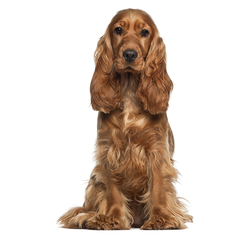 cocker spaniel origin cocker spaniel america s pet registry 8238