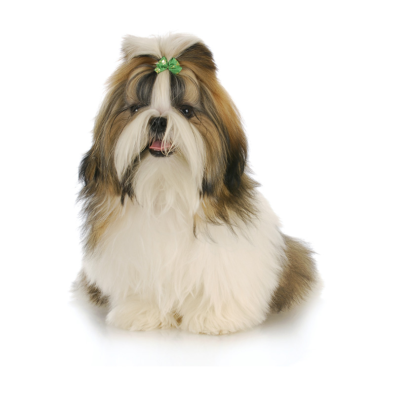 Shih Tzu Americas Pet Registry