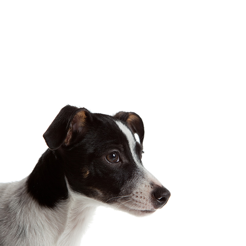 American Rat Terrier America S Pet Registry